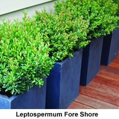 Leptospermum-foreshore