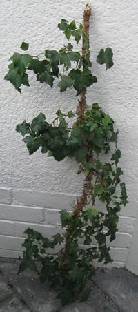 Big-chunky-piece-of-ivy