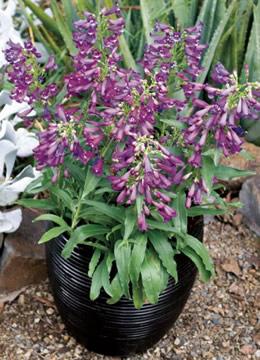 Penstemon-purpleicious-pga