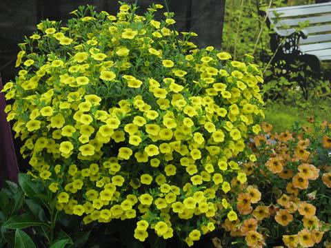 Nemesia-yellow