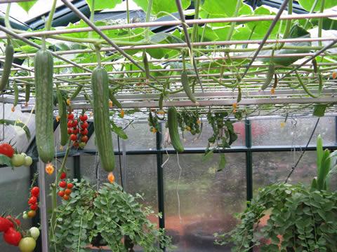 Cucumber-caper-tomato