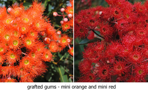 Grafted-gums