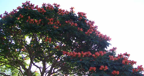 African_tulip_tree_2